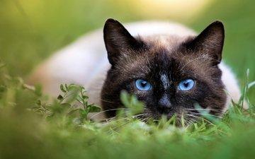 eyes, background, cat, muzzle, mustache