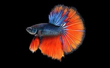 аквариум, рыбка, рыба, подводный мир, петушок, аквариумная рыбка, бетта, рыба-истребитель, бетта-рыба, betta fish