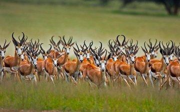 африка, юар, антилопы, калахари, антилопа-прыгун, африканская антилопа, спрингбок