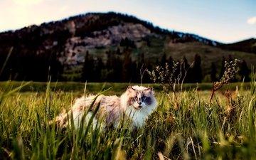 grass, cat, fluffy, walk