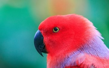 попугай, голова, птаха