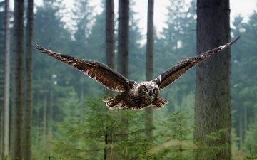 сова, лес, полет, птица