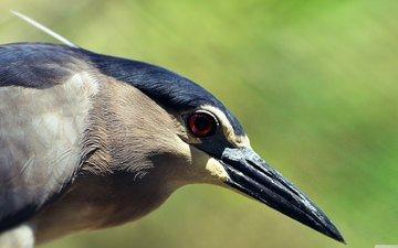 птица, клюв, перья, цапля, крупным планом, кваква