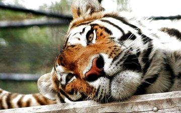 tiger, face, predator, big cat