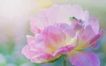 макро, цветок, лепестки, лягушка, розовый