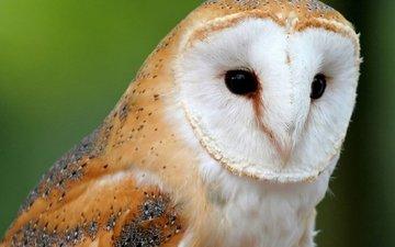 сова, природа, взгляд, птица, сипуха