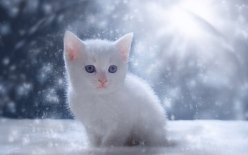 eyes, snow, winter, cat, muzzle, look, kitty, white