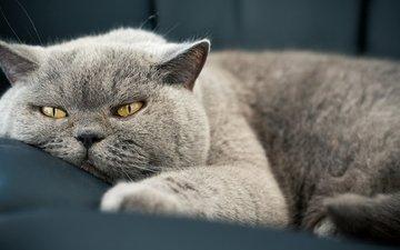 кот, мордочка, кошка, взгляд, британская короткошерстная