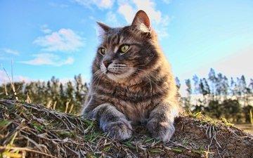 небо, облака, кот, мордочка, лето, кошка, взгляд