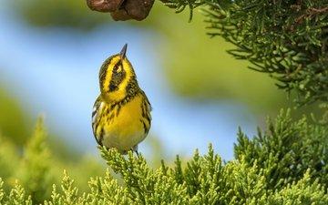 фон, ветки, птица, лесной певун, туя