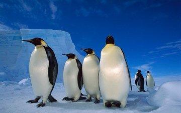 снег, лёд, пингвины, императорский пингвин