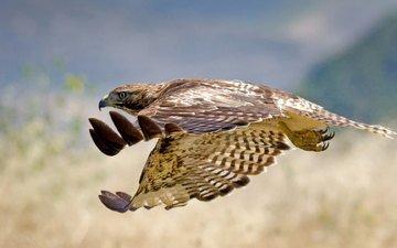 полет, животные, крылья, птица, ястреб