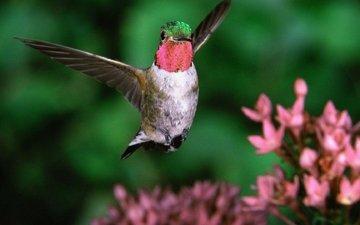 птица, клюв, колибри, широкохвостный колибри, широкохвостый колибри