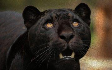 морда, хищник, пантера, чёрная пантера