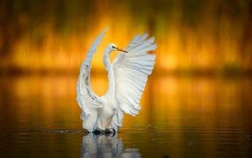 крылья, птица, клюв, белая, цапля