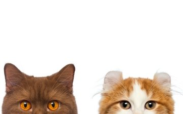 muzzle, mustache, look, cats, white background