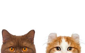 мордочка, усы, взгляд, коты, белый фон, кошки