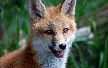 мордочка, взгляд, лиса, лисица, живая природа