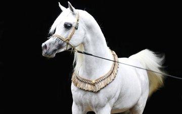 лошадь, черный фон, конь, белая, сбруя, арабская лошадь, чистокровная