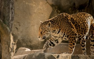 хищник, большая кошка, ягуар