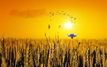 the evening, field, birds, wheat, cornflower, a flock of birds