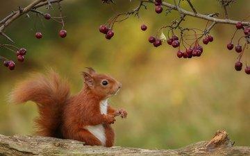 природа, ветки, осень, ягоды, животное, белка, зверек, бревно, грызун