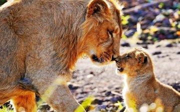 хищник, большая кошка, лев, львёнок
