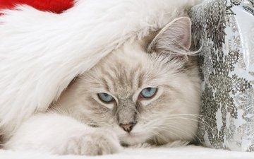 кот, мордочка, кошка, взгляд, голубые глаза