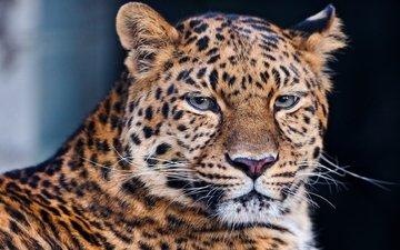 face, mustache, lies, leopard, predator, big cat