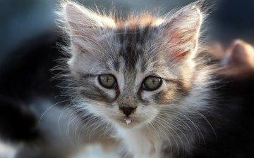 кот, мордочка, кошка, взгляд, котенок