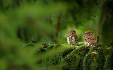 сова, дерево, хвоя, ветки, взгляд, птицы, боке, совы, сыч