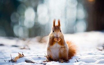 снег, зима, животные, рыжая, белка, белочка, грызун