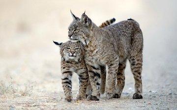 рысь, хищник, животное