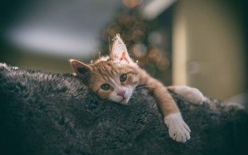 кот, мордочка, кошка, дом, уют, лапки