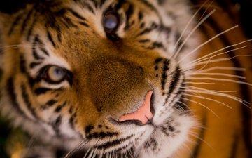 tiger, face, closeup