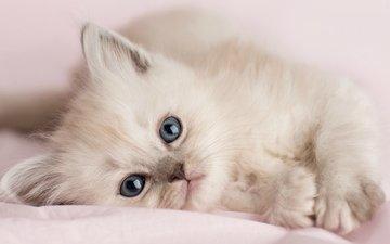 кошка, котенок, белый, лапа