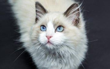 кот, усы, шерсть, кошка, голубые глаза, лаза
