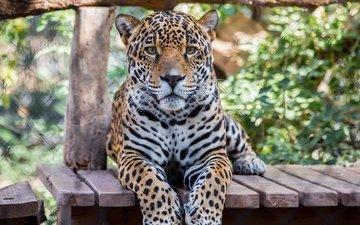 морда, лапы, взгляд, хищник, большая кошка, ягуар