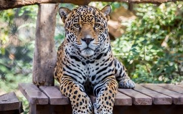 face, paws, look, predator, big cat, jaguar