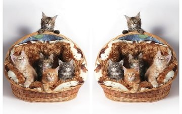 cats, kittens, basket, maine coon