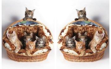 кошки, котята, корзинка, мейн-кун