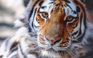 tiger, face, look, predator, animal
