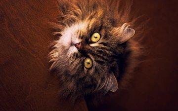глаза, кот, кошка, пушистый
