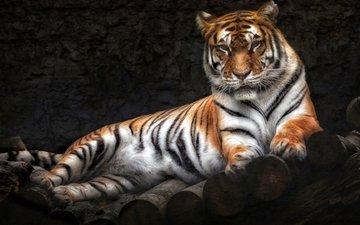 тигр, лежит, хищник
