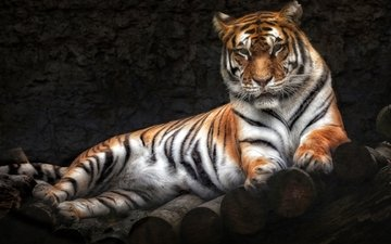 tiger, lies, predator