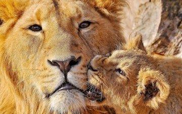 морда, большая кошка, лев, забота, львица, львёнок, детеныш