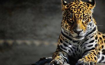 леопард, большая кошка, дикая природа