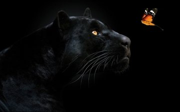 face, look, butterfly, predator, black background, panther, black panther