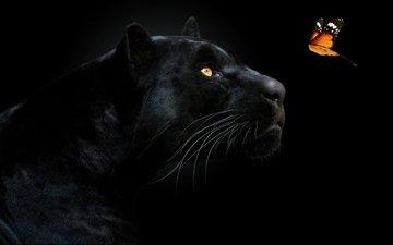 морда, взгляд, бабочка, хищник, черный фон, пантера, чёрная пантера