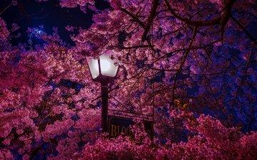 цветение, листья, лепестки, фонарь, весна, сакура